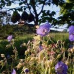 Biene an Storchschnabel