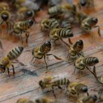 Bienenschwarm beim Sterzeln